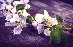Cherry blossom sakura on rustic wooden table vintage retro Royalty Free Stock Images