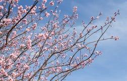 Cherry Blossom Sakura säsong i Japan royaltyfri foto