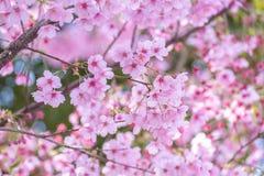 Cherry Blossom Sakura in Saitama, Japan. Full Bloom of Cherry Blossom Sakura near the river in Saitama, Japan Royalty Free Stock Photography