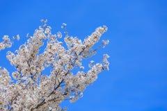 Cherry Blossom, Sakura season in Japan. Stock Photo