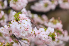 Cherry Blossom, Sakura season in Japan. Stock Photos