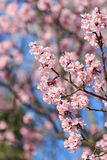Cherry Blossom, Sakura season in Japan. Royalty Free Stock Images