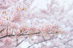 Cherry Blossom, Sakura-seizoen in Korea, Backgroun Royalty-vrije Stock Afbeelding
