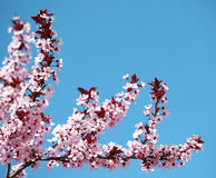 Cherry Blossom. Sakura and Sky. Beautiful Pink Flowers in Spring Stock Photo