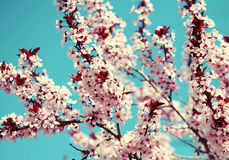 Cherry Blossom. Sakura and Sky. Beautiful Pink Flowers in Spring Stock Image