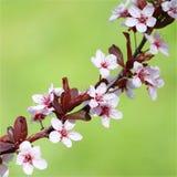 Cherry Blossom. Sakura Royalty Free Stock Photography