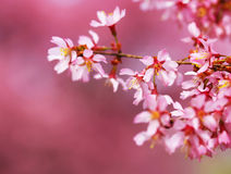 Cherry Blossom. Sakura in Springtime. Royalty Free Stock Photography