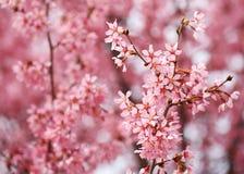 Cherry Blossom. Sakura in Springtime Stock Image