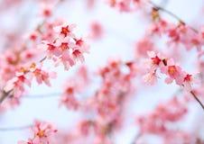 Cherry Blossom. Sakura Stock Photography