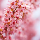 Cherry Blossom. Sakura in Springtime. Stock Photography