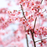 Cherry Blossom. Sakura in Springtime. Royalty Free Stock Image