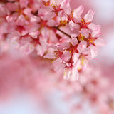 Cherry Blossom. Sakura in Springtime Royalty Free Stock Photos