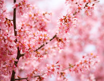 Cherry Blossom. Sakura in Springtime. Stock Photo