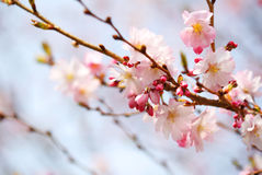 Cherry Blossom. Sakura in Springtime Royalty Free Stock Photo