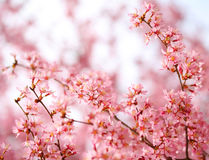 Cherry Blossom. Sakura in Springtime Stock Photos