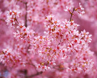 Cherry Blossom. Sakura in Springtime Royalty Free Stock Images