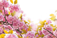 Cherry Blossom Royalty Free Stock Photo