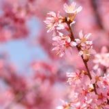 Cherry Blossom. Sakura in Springtime Stock Photography