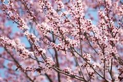 Cherry Blossom. Sakura in Springtime Stock Images