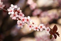 Cherry Blossom. Sakura in Springtime Royalty Free Stock Image
