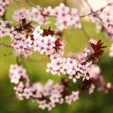 Cherry Blossom. Sakura in Springtime Royalty Free Stock Images