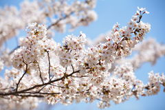 Cherry blossom sakura Royalty Free Stock Photo