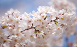 Cherry blossom sakura Royalty Free Stock Images
