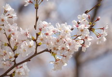 Cherry blossom sakura Royalty Free Stock Image