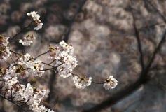 Cherry blossom or Sakura in Tokyo Japan. Cherry blossom or Sakura (Somei Yoshino) in Tokyo Japan Stock Image