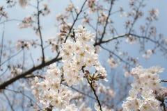 Cherry blossom or Sakura in Tokyo Japan. Stock Images
