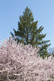 Cherry blossom on a Sakura tree with a green tree Stock Images