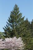Cherry blossom on a Sakura tree with a green tree Royalty Free Stock Photo