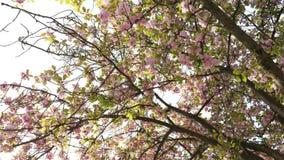 Cherry blossom sakura tree petals falling. Cherry blossom sakura tree seen from below with  falling petals early in spring in Japanese garden stock video