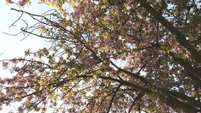 Cherry blossom sakura tree petals falling slow motion. Cherry blossom sakura tree seen from below with  falling petals early in spring in Japanese garden - slow stock video