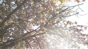 Cherry blossom sakura tree petals falling slow motion. Cherry blossom sakura tree seen from below with  falling petals early in spring in Japanese garden stock video