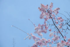 Cherry blossom or sakura on tree in spring season at park | Beautiful blooming pink flowers with blue sky background Royalty Free Stock Photography