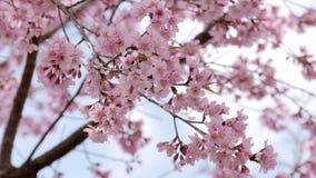Cherry blossom sakura tree in springtime.  stock video