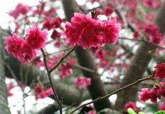 Cherry Blossom Sakura on Tree Top. Pink red cherry blossom sakura flowers on tree top stock images