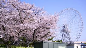 Cherry blossom sakura trees and ferris wheel. Blooming cherry blossom sakura trees in in Expo `70 Commemorative Park with Japan largest Ferris wheel at Osaka stock footage