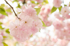 Cherry blossom.Sakura Royalty Free Stock Photo