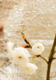 Cherry blossom.Sakura Royalty Free Stock Photography