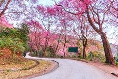 Cherry Blossom or sakura Royalty Free Stock Photo