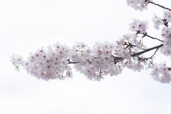 Cherry blossom sakuras of Tokyo in Japan. Marvelous and beautifull mood of the cherry blossom sakuras of Tokyo in Japan stock photo