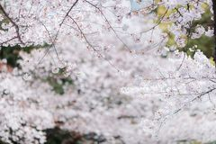 Cherry blossom sakuras of Tokyo in Japan. Marvelous and beautifull mood of the cherry blossom sakuras of Tokyo in Japan stock photos