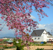 Cherry blossom at Sapa town in Laocai, Vietnam Stock Images