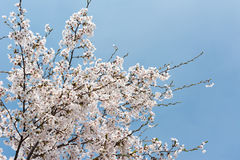 Cherry blossom scenery Royalty Free Stock Photography