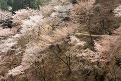Cherry blossom scenery Stock Photos