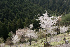 Cherry blossom scenery Royalty Free Stock Image