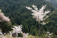 Cherry blossom scenery Royalty Free Stock Photography