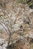 Cherry blossom scenery Stock Photo